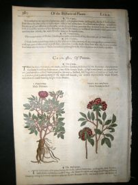 Gerards Herbal 1633 Hand Col Botanical Print. Male Peony